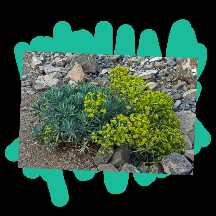 La plante d'euphorbe à son état naturel